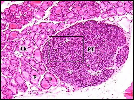 Endocrine System Pns