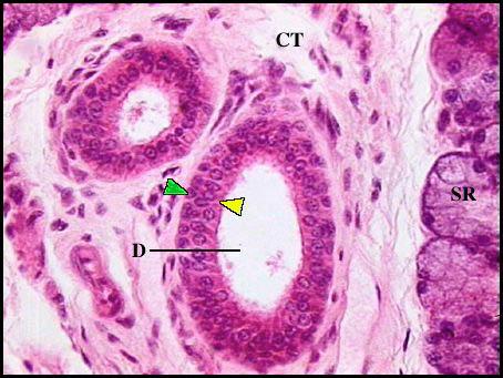 epithelium sections